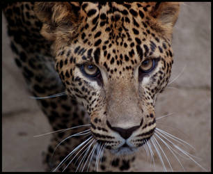 leopard: look into my eyes by morho