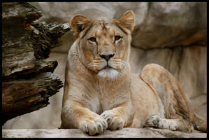 lioness by morho
