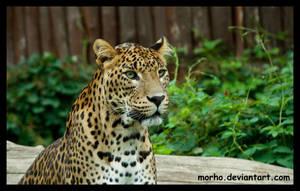 sri lankan leopard by morho