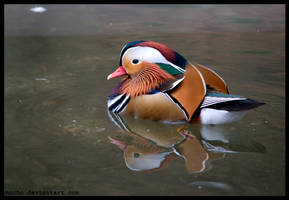 mandarin duck by morho