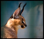 young caracal by morho