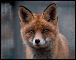 curious fox by morho