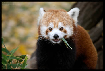 autumn red panda by morho