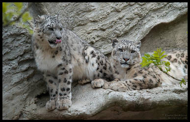 snow leopards by morho