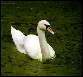 swan by morho