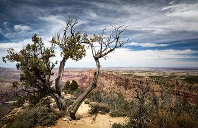 A lonely tree overseeing the Grand Canyon by svoigt