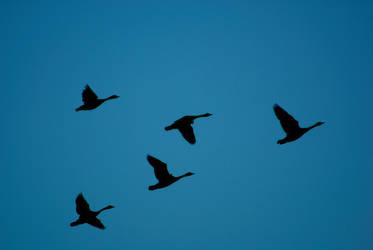 Goose Flight by Nattgew