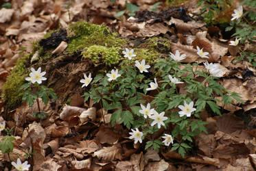 wood anemone by heyla-stock