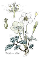 Helleborus Niger - Christmas Rose by rainytown