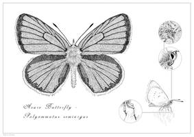 Mazarine Blue Butterfly by rainytown
