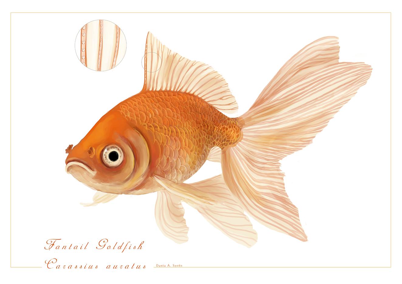 Fantail Goldfish -  Carassius auratus by rainytown