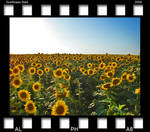 sunflower field by alpha8