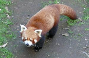 Walky Panda by HazardousArts