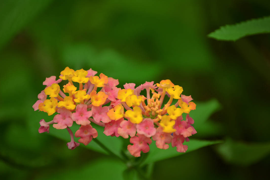 Small Pink And Yellow Flowers Lantana By Magicl91