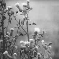 thistles by PhotoFrama