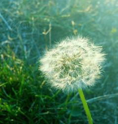 Dandelion by matthey