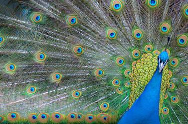 peacock I by 0bpd
