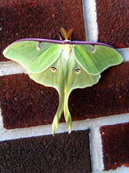Luna moth wings unfurled by Insect-Lovers-Club