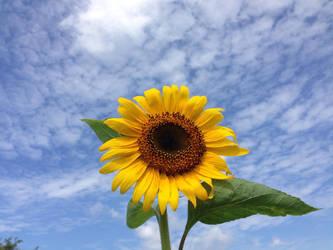 Sunflower (Himawari) by RuetheFox