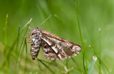 Moth by Flunipam