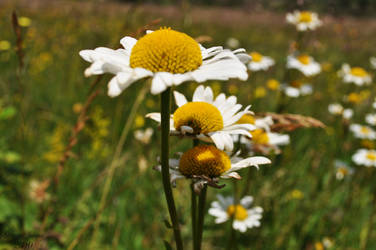 The smell of chamomile by dzejn