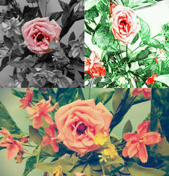 Rosas by IloveWKever