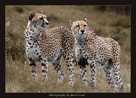 Cheetahs by basil-lion