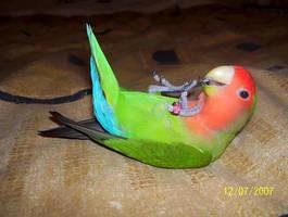 Peach Faced Lovebird by Phoenix-Gurl