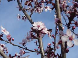 Blossoms by ihavenimbus