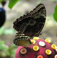 Butterflies by ihavenimbus