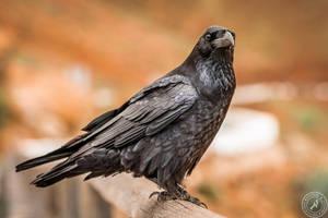 Big black Bird by BlackSunRising