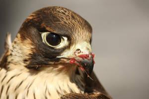 Falco cherrug by polag13