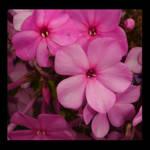 Pink life by SeriantSlyjarr