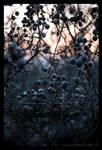 Blackthorn by Vitskog