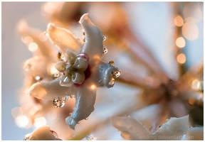 Hoya Australis by Vitskog