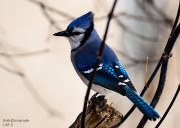 Bluejay by JestePhotography