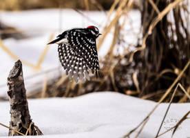 Downy Woodpecker - Flight by JestePhotography
