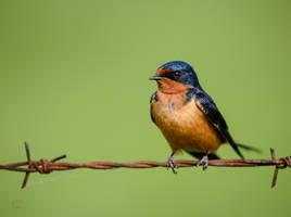 Barn Swallow - Bird on a wire by JestePhotography