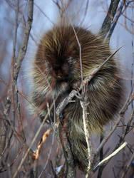 Porcupine-Bashful by JestePhotography