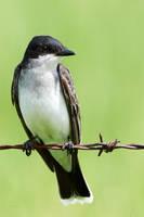 Eastern Kingbird-Fence sitter by JestePhotography