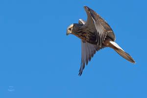 Rough-legged Hawk-Ready by JestePhotography
