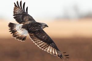 Rough Legged Hawk - Flight by JestePhotography
