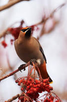 Bohemian Waxwing-Berry Bandit by JestePhotography
