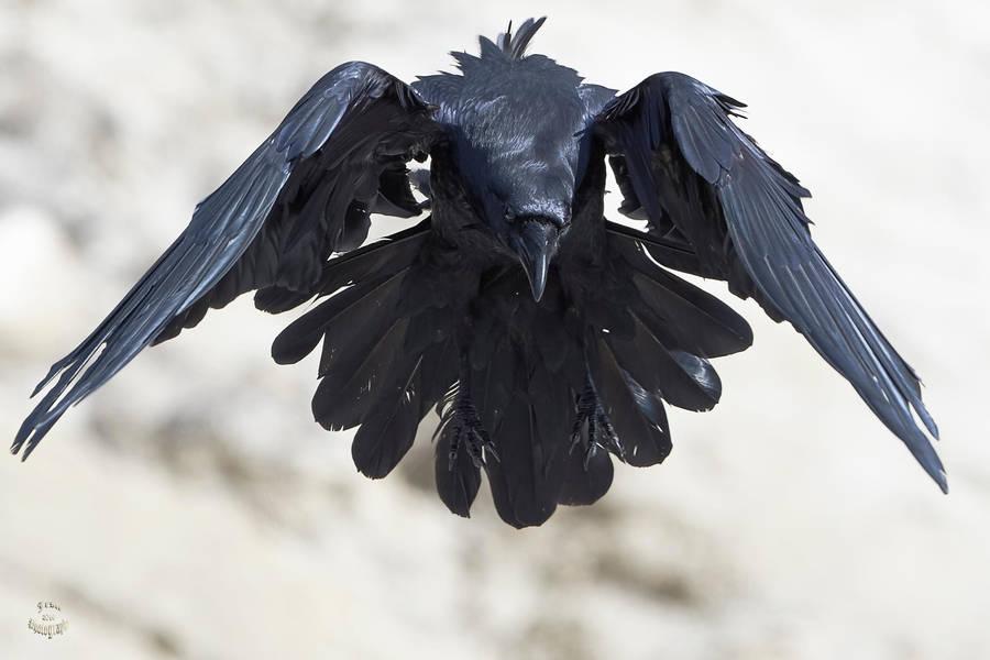 Ravens Flight by JestePhotography