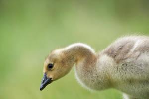 Gosling - Fuzz by JestePhotography