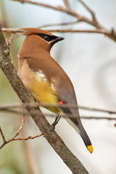 Cedar waxwing-Shoulder check by JestePhotography
