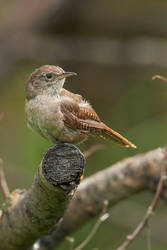 House Wren - Looking around by JestePhotography