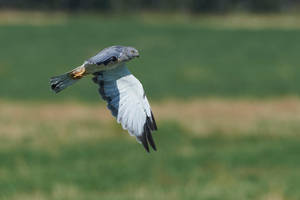 Male Northern Harrier - Low Flyer by JestePhotography