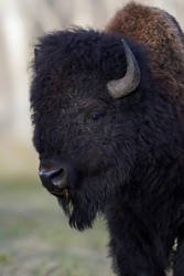 Plains Bison - Solemn by JestePhotography