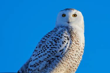 Snowy Owl - Bright eyes by JestePhotography